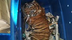 La Policía mexicana encuentra un cachorro de tigre en un paquete de