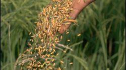 Investigadores españoles demuestran que tres proteínas del arroz frenan el