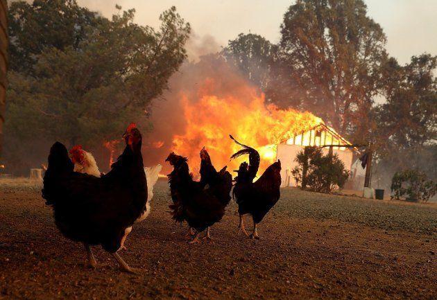 Pollos que temen convertirse en pollos asados en Lakeport