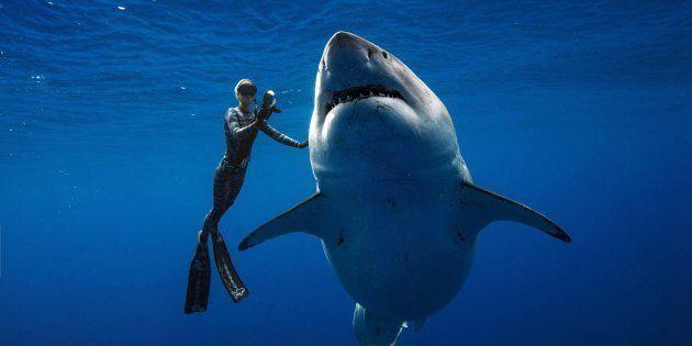 Una buceadora acaricia al tiburón blanco más grande del