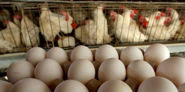 Francia prohibirá los huevos de gallinas enjauladas en