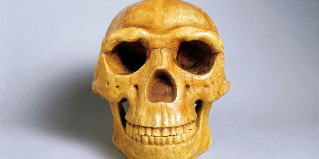 Reconstrucción de cráneo del 'Homo erectus
