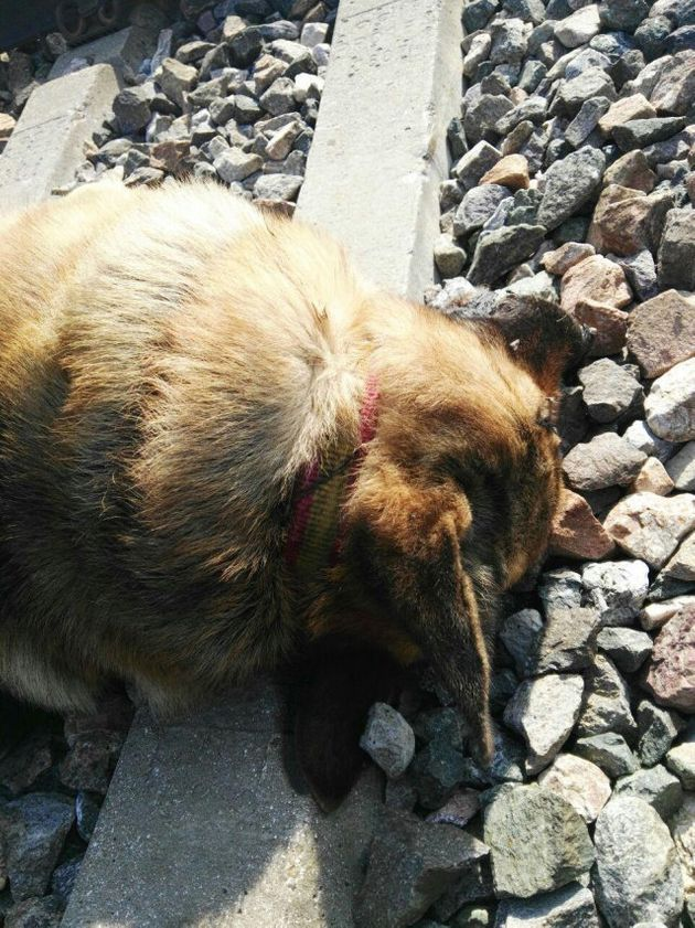 Encuentran 20 perros muertos que fueron atados a la vía para ser arrollados por el