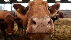 Sanidad confirma la entrada de 367 kilos de carne de vacas enfermas de