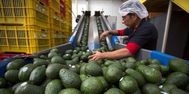 Empleados de una empacadora de aguacate seleccionan el producto para su exportación a Estados Unidos...
