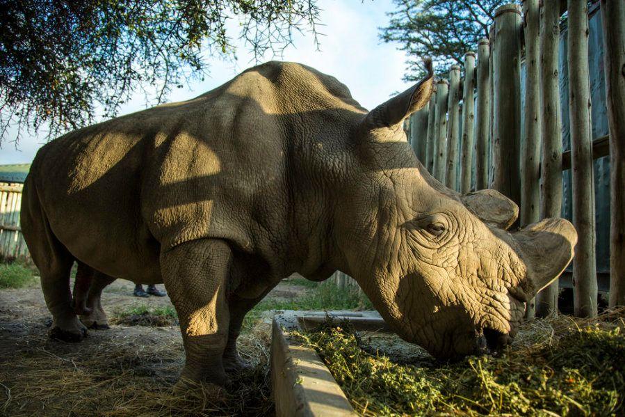Puede que estas sean las últimas fotos de un rinoceronte blanco del