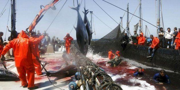 Pescadores de almadrabas suben un par de atunes de una piscina, en Zahara de los