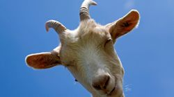Las cabras distinguen a las personas felices y prefieren interactuar con