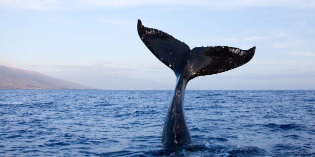 Tres ballenas pigmeas llenas de bolsas de plástico mueren al encallar en