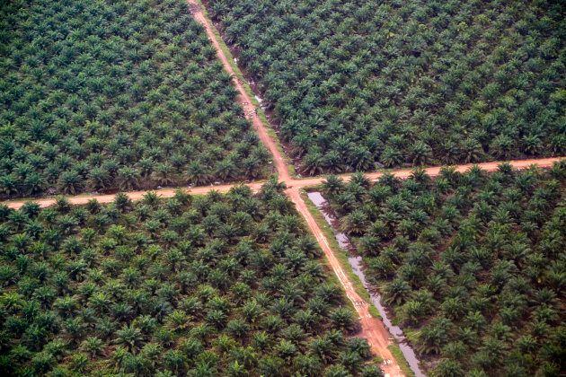 Los efectos negativos del aceite de palma van más allá de la