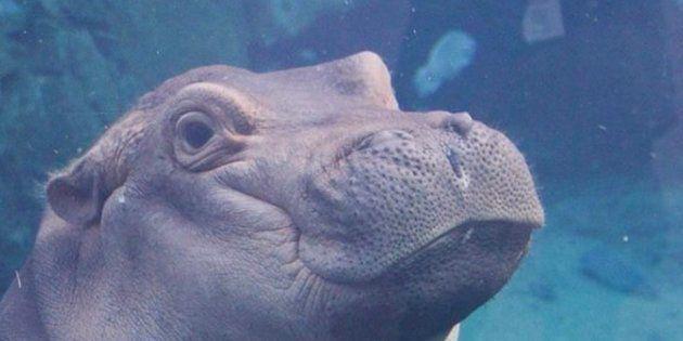 ¿Recuerdas a la hipopótamo que se coló en una pedida de mano? Ya tiene