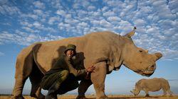 Muere el último rinoceronte blanco macho que quedaba en el