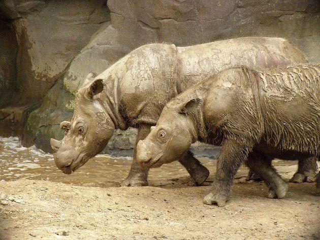 Como el rinoceronte blanco, estos animales están al borde de la