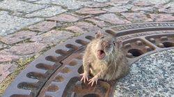 El dramático rescate de una rata gorda atascada en una