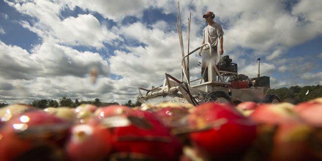 Imagen de archivo de un hombre cultivando arándanos en Estados