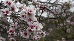 La leyenda de los almendros en flor (2ª