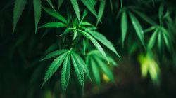 La Guardia Civil encuentra 355 plantas de marihuana en la casa de un concejal del PSOE de Pampaneira