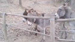 La impagable lección de este burro a la hora de enfrentarse a un