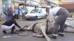 Cae desplomado un caballo que tiraba de una calesa en las fiestas de La Línea