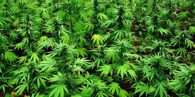 Dos detenidos en Girona por cultivar más de 18.000 plantas de