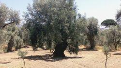 Olivos españoles para repoblar los campos quemados por Daesh en Nínive