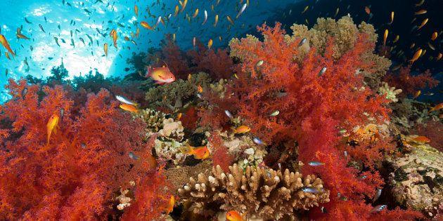 Corales marinos en Shaab Maksur, Mar Rojo,