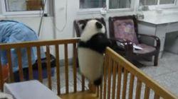 Bebé panda intenta escapar de la