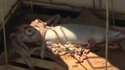 Un barco irlandés encuentra un calamar gigante de más de 5 metros de