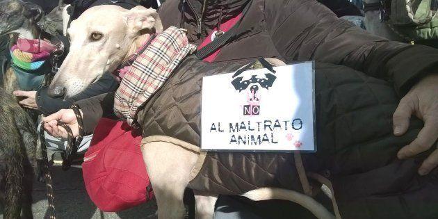 Un galgo con un cartel contra el maltrato animal, en una imagen de