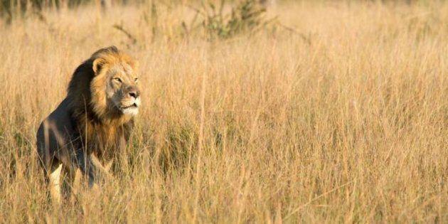Muere en una partida de caza Xanda, el cachorro mayor del león
