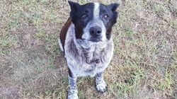 Un heroico perro ciego y sordo ayuda a localizar a una niña de tres años