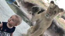 Este bebé triunfa con su reacción ante el ataque de un león en el
