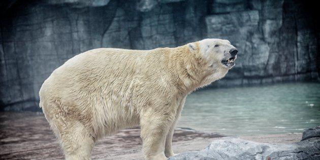 El único oso polar nacido en el trópico muere a los 27