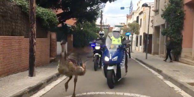 Dos agentes de la Policía Local de Sant Cugat persiguen a un emú que recorrió el centro de la