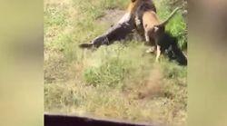 El impactante vídeo de un león atacando (y arrastrando) a un