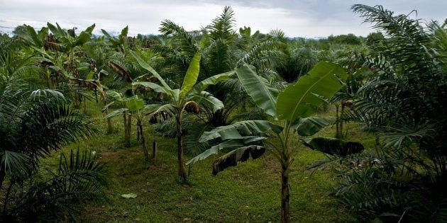 Bosques de palma aceitera en