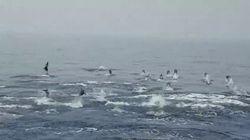 Decenas de delfines protagonizan unas espectaculares imágenes captadas por la Guardia Civil en Cabo de