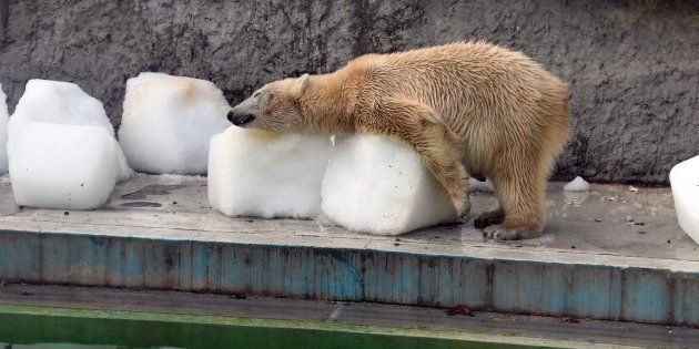 La crueldad del ser humano en fotos: osos polares a 40º en el zoo de