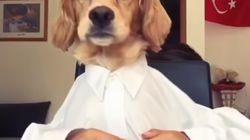 Los golden retriever son los mejores perros del mundo, y este vídeo lo