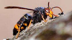 Retiran en Galicia un enorme nido de 'avispas asesinas': casi 1,20 metros de