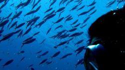 Las altas temperaturas del Mediterráneo provocan una oleada de ataques de peces a bañistas en