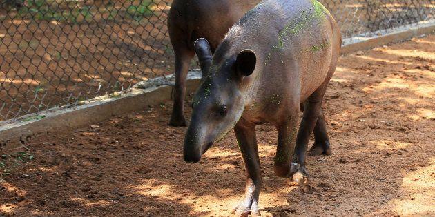 Tapires en el zoo de Zulia, en