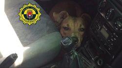 Detenido un joven en Córdoba tras morir cinco perros asfixiados por el calor en su