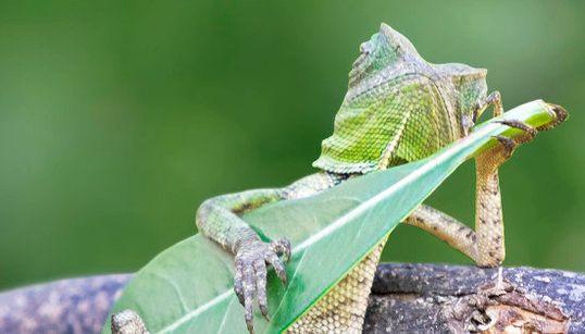 El lagarto más molón del