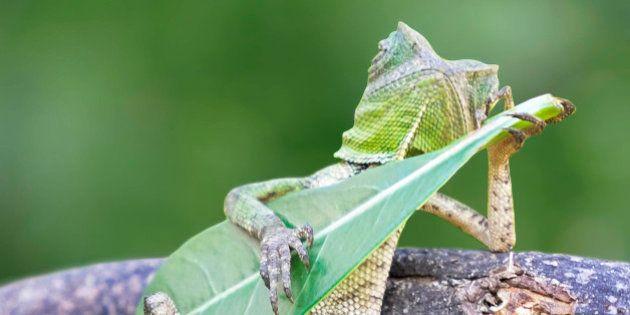 El lagarto más molón del mundo se pasa el día tocando la