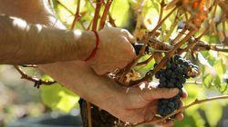 A por uvas: Un centenar de temporeros españoles estafados en