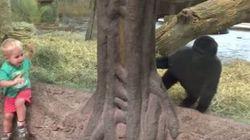 Un niño juega a esconderse con un gorila e internet enloquece
