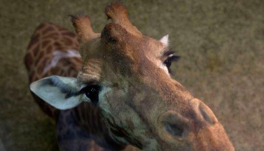 Esta jirafa te alegrará el