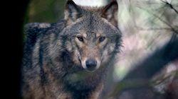 Viviendo con lobos: entre el problema y la