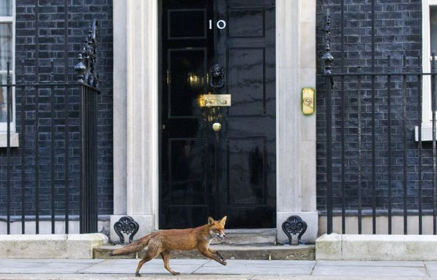 El zorro de Downing Street (FOTOS,